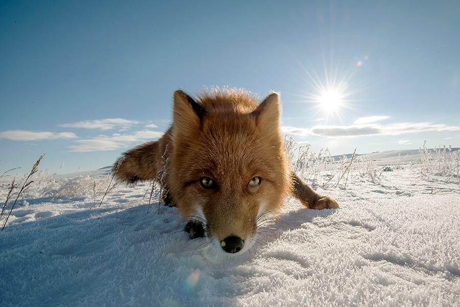 Les renards de Tchoukotka se nourrissent principalement de petits rongeurs (mulots, lemmings), qu'ils peuvent même trouver sous la neige. Parfois, ils ne rechignent pas à capturer des oiseaux ou à visiter des poulaillers. Mais c'est beaucoup plus rare que ce que dit la rumeur.