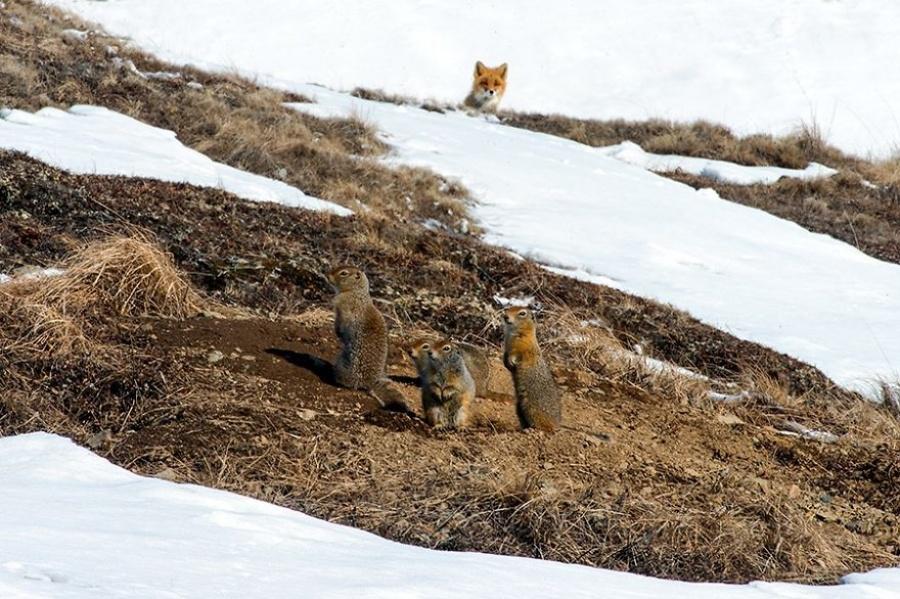 Quand il s'agit d'attraper son prochain repas, l'ingéniosité du renard n'a pas de limites. Il peut faire le mort ou intriguer ses proies par un comportement bizarre.