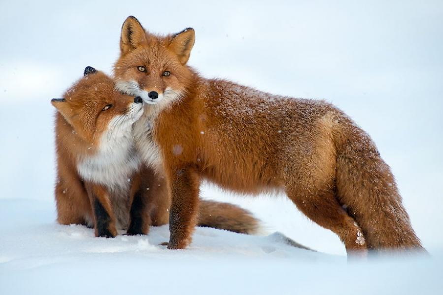 Les renards peuvent être très patients, ce qui est important puisqu'ils chassent surtout en prenant leur proie par surprise. Mais on a souvent observé des renards se coucher et attendre sur les chemins habituellement empruntés par les lièvres ou les jeunes rennes.