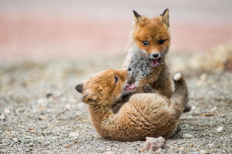 Le renard se nourrit de 400 espèces différentes de plantes et d'animaux, dont des pastèques (au Tchoukotka, elles poussent bien sûr dans des serres). Il peut également se nourrir d'autres fruits et de baies.