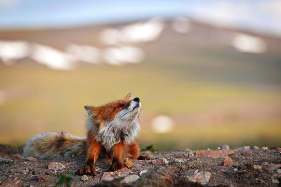 Les renards sont très prudents quand des humains s'approchent, et ils fuient ou cherchent un abri. Mais de temps à autre, il se montrent étonnamment confiants.