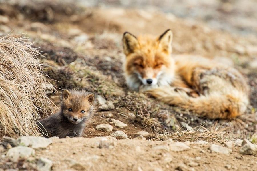 """""""Mes animaux favoris sur les photos sont les renards. Ils ont l'air aussi vrai que nature sur l'image."""""""