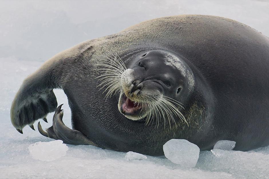 Heutige Polarforscher betrachten die Arktis vor allem als ein einzigartiges Ökosystem. Die Fotos von Sergej Anissimow, Sergej Dolja und Sergej Machalow fangen ihre überwältigende Naturschönheit ein, das grenzenlose Eis und die einzigartige Fauna, deren Erhalt zu den dringlichsten Aufgaben der Menschheit gehört.