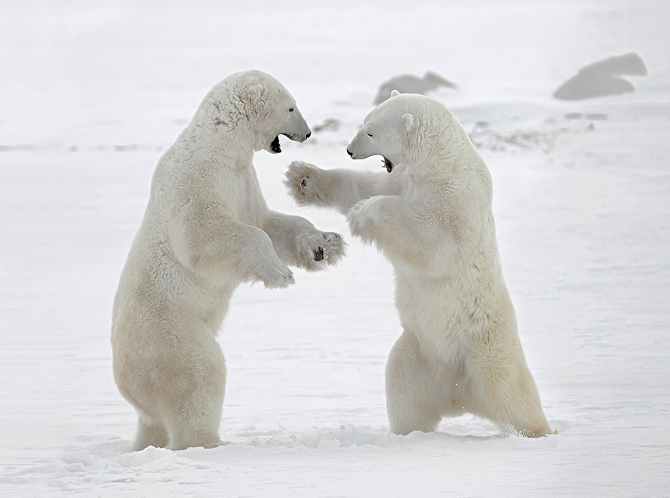 Dieses Jahrhundert erlebt ein Wiedererwachen des Interesses an der Arktis, das weniger dem Entdeckungsdrang und Fortschritt, als ökologischen Problemen und dem Wunsch nach Erhalt der einzigartigen natürlichen Ressourcen der Region geschuldet ist. Die Arktis droht infolge des Klimawandels innerhalb der nächsten 100 Jahre zu schmelzen.