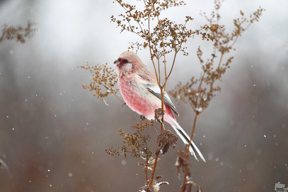Carpodacus sibiricus é uma ave sedentária que habita a Sibéria e os montes Urais.