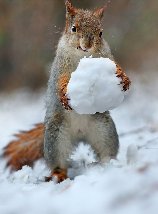 Russian photographer Vadim Trunov pictured squirrels having fun in a snowy forest.