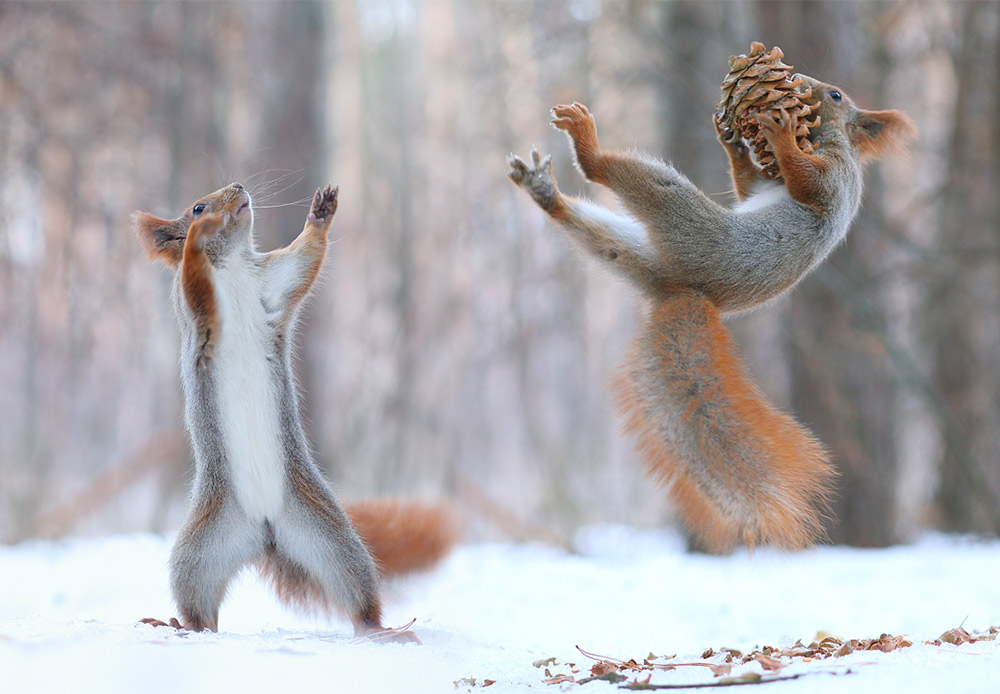 A cone is standard fare for squirrels in almost all regions of Russia.