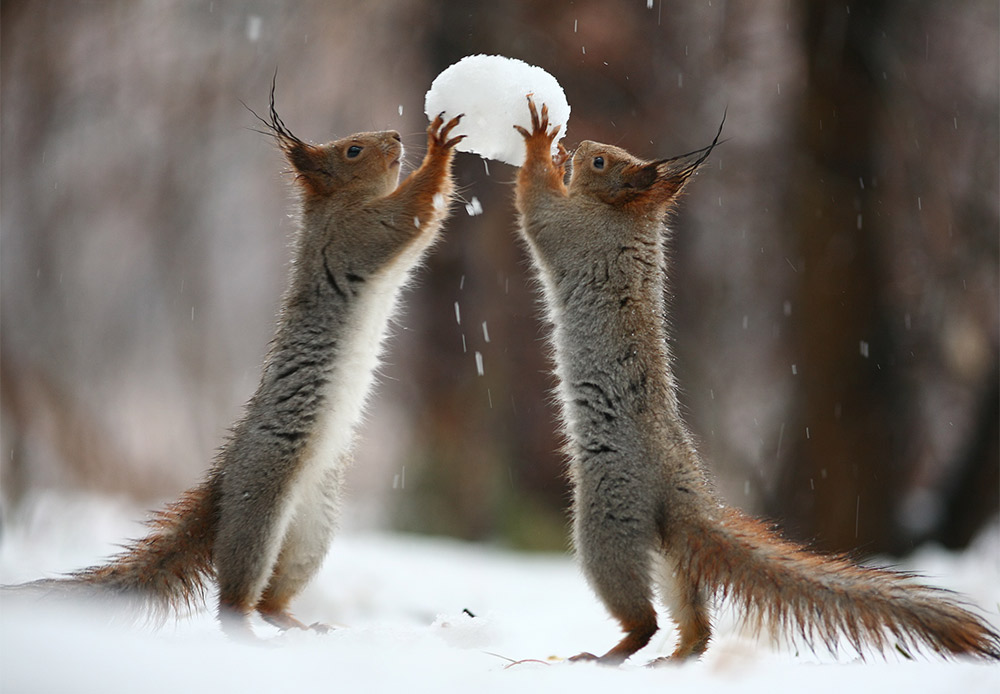 Two squirrels fight for a snowball that looks tastier than it actually is...