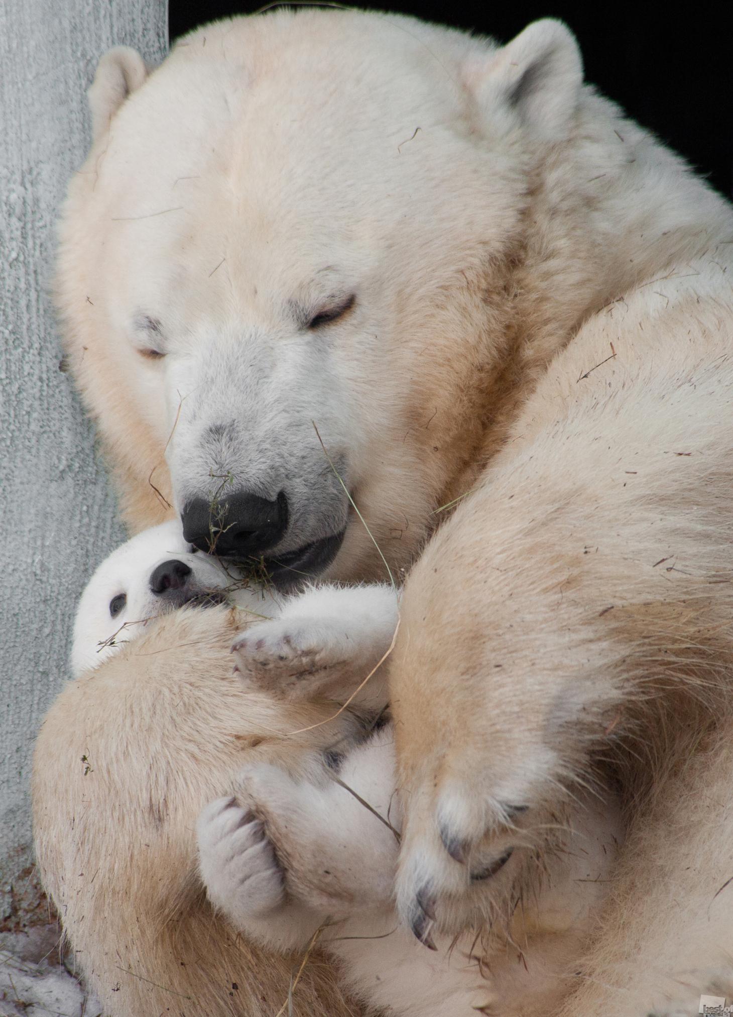 9/15. Rođenje bijelog medvjeda prvi put nakon 42 godine bilo je veliki događaj za Novosibirsk. Čitav grad je birao ime. Mladunče je nazvano Šilka.