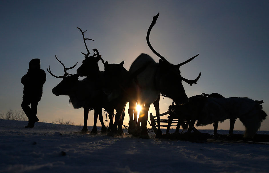 A man walks past reindeer at the Reindeer Herder