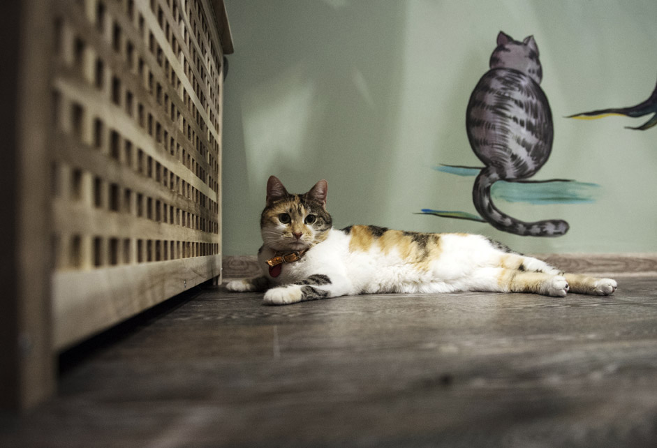 "A cat from the Moscow's first ever cat café Kotiki i Lyudi (""Kitties and People"")."