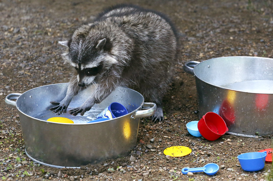 Masha, a female raccoon, plays with plastic dishes in a pot filled with water, placed by zoo employees, inside an enclosure at the Royev Ruchey zoo in Krasnoyarsk, Russia, June 7, 2015. According to a zoo representative, the zookeepers arrange games and activities for the animals to keep them entertained and to attract visitors.