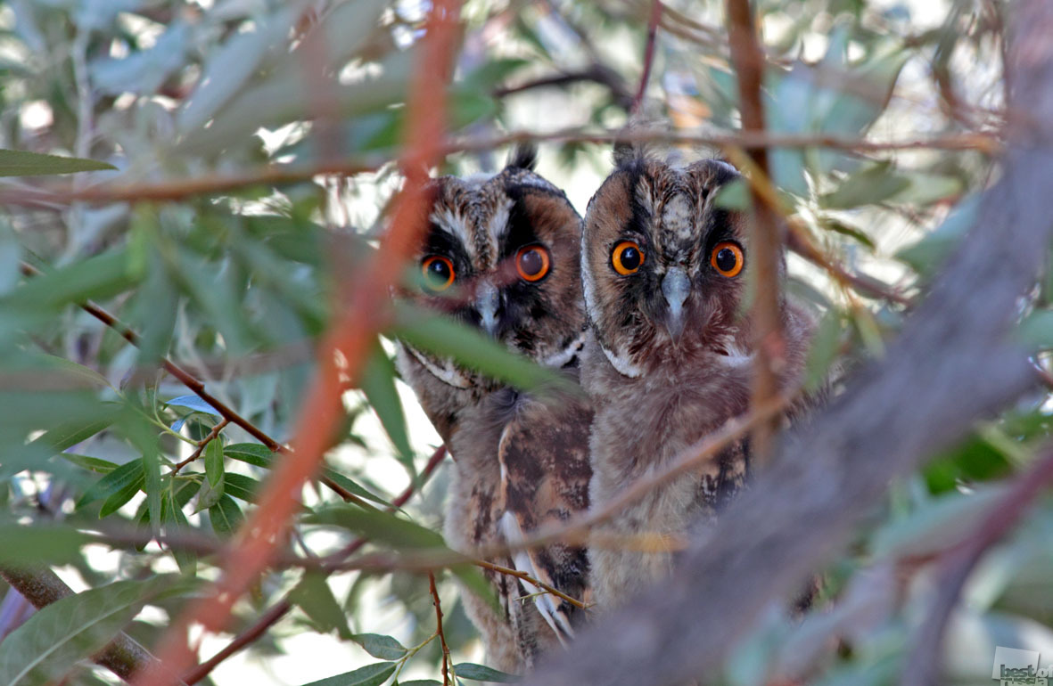 The owlets in Volgograd Oblast.