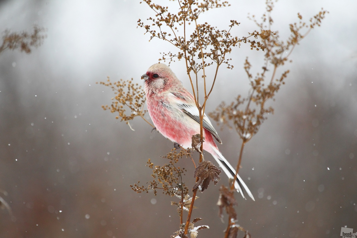 The long-tailed rosefinch, a non-migratory bird common to Siberia and the Urals.