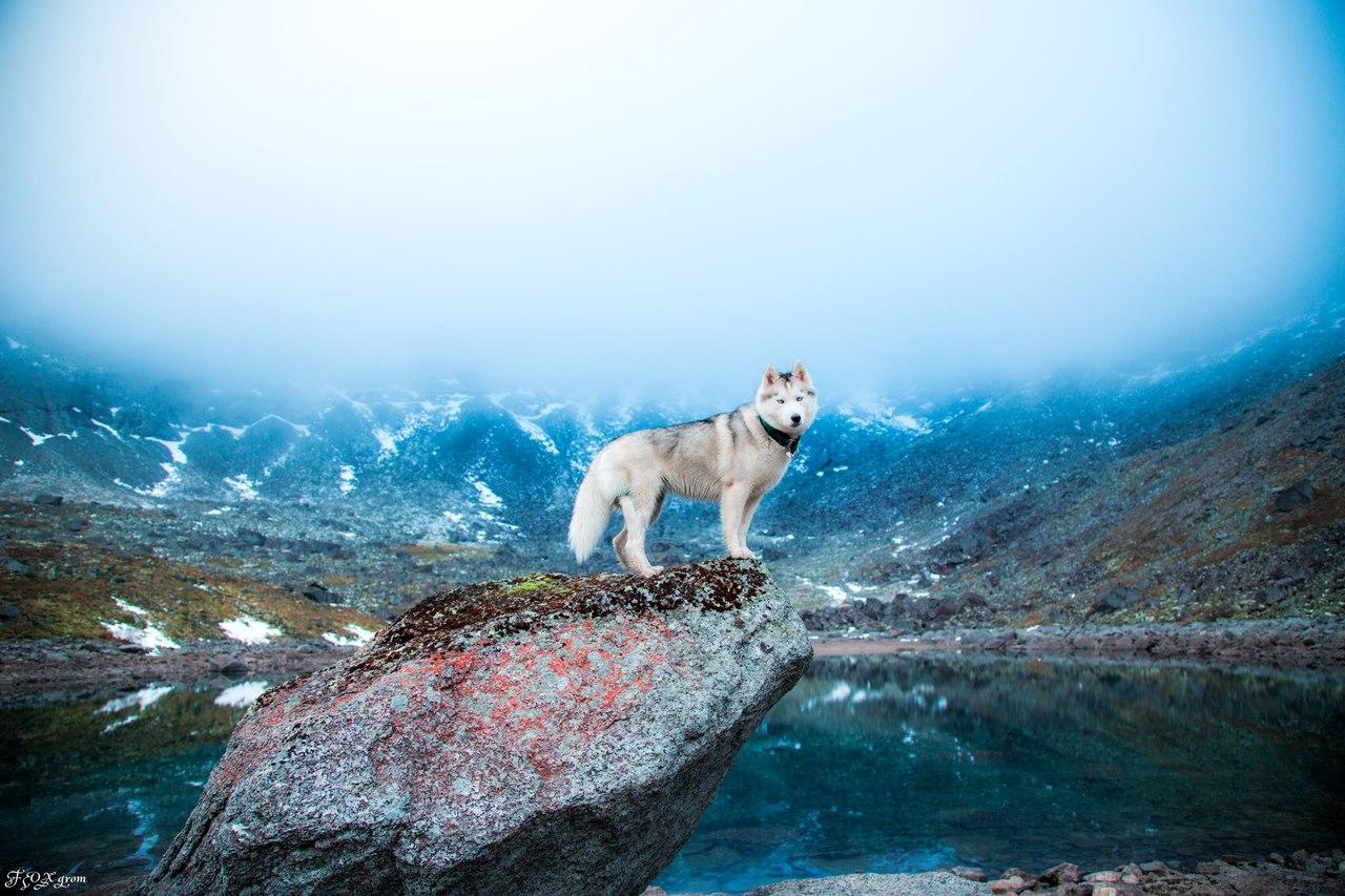 Namun sebenarnya, berjalan di atas air hanyalah satu dari sekian banyak bakat terpendam yang dimiliki anjing husky!