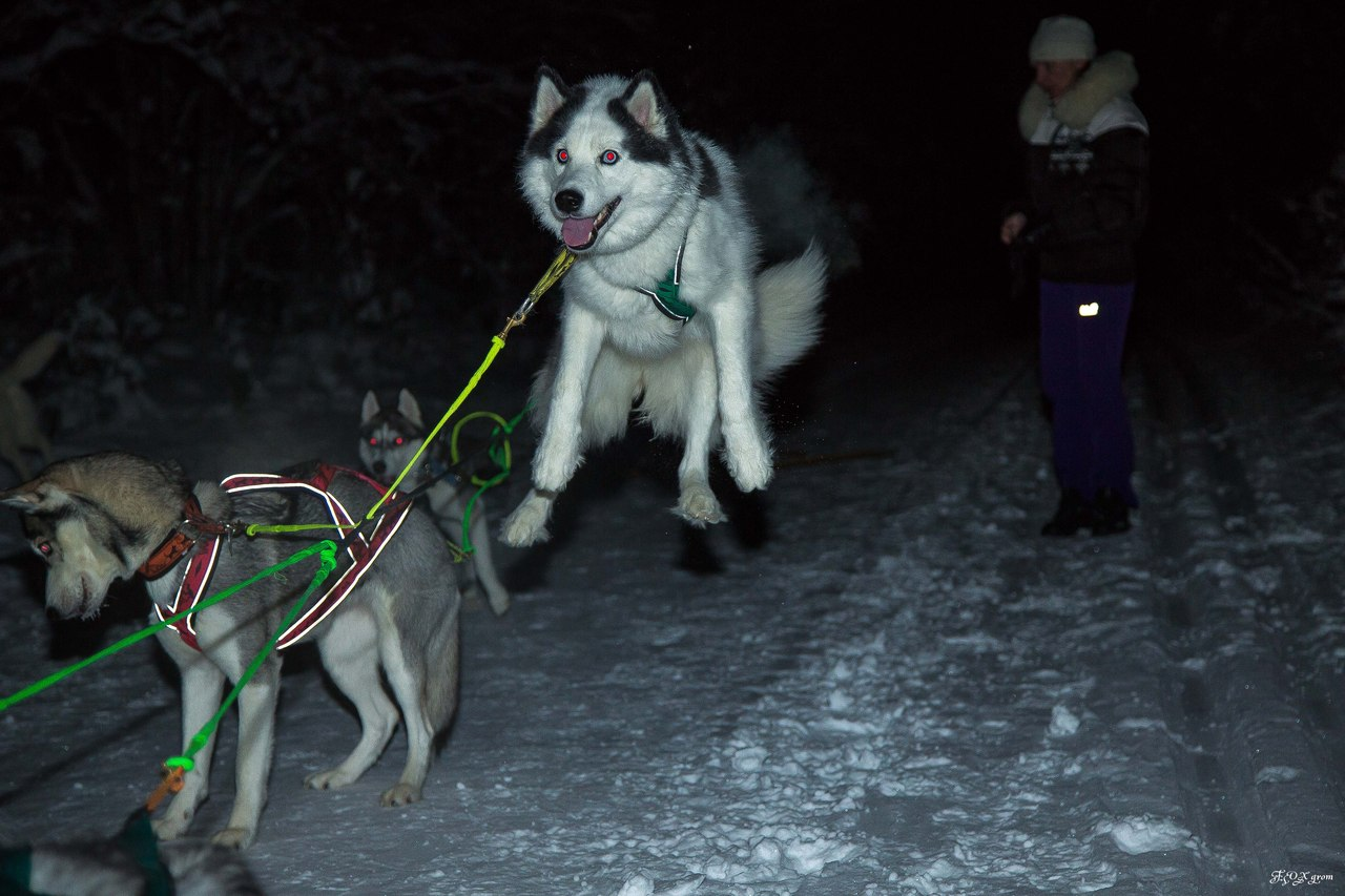 Misalnya, anjing husky bisa terbang.