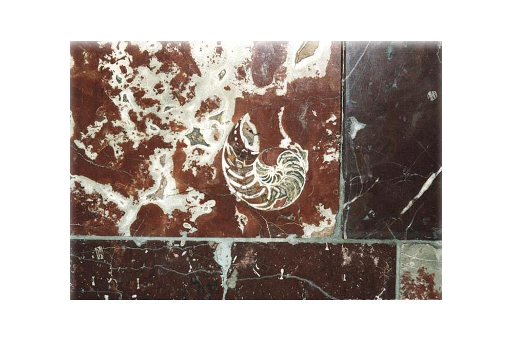 Hier sehen sie eine Gruppe verschiedener Versteinerungen. In der Mitte sieht man deutlich das spiralförmige Gehäuse eines Gastropoden. Man kann leicht erkennen, dass es mit verschiedenen Sedimenten gefüllt ist, teilweise Sand und teilweise Lehm. Um es herum liegen die fossilen Überreste von Stachelhäutern. \ Metrostation Dobryninskaja