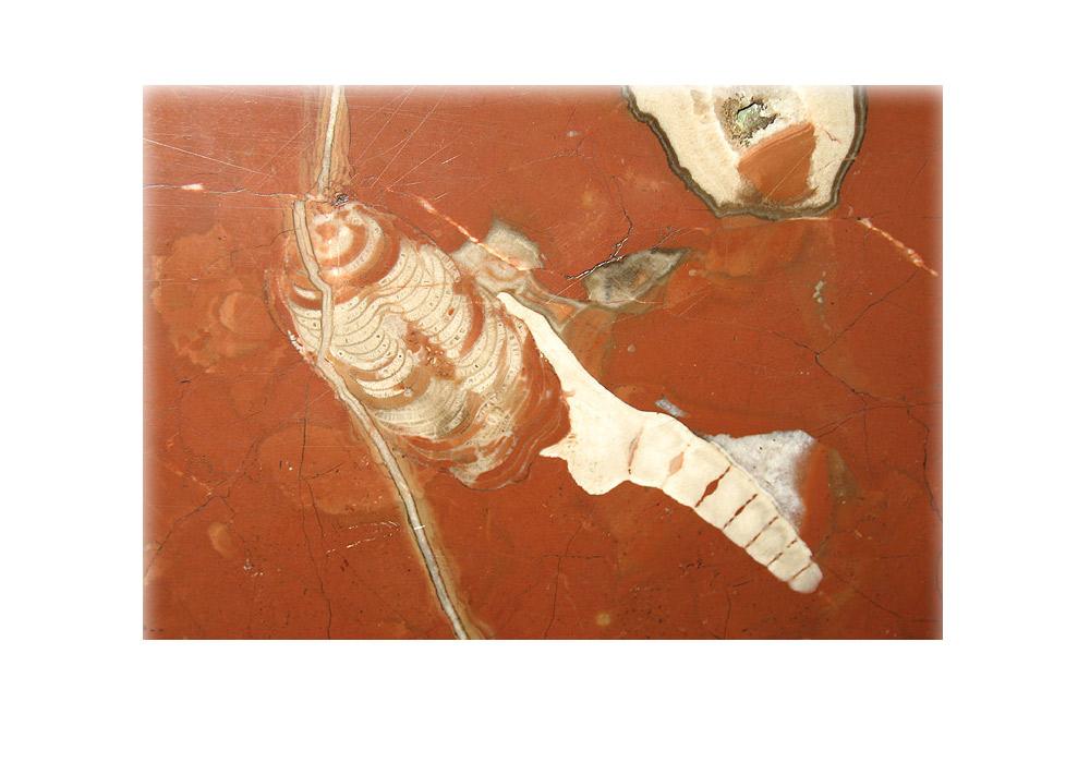 Essa petrificação é rara. Não se sabe ao certo, mas é provável que consista de dois animais fundidos. O crinoide, que parece um rabo branco, está conectado a uma esponja \ Estação Kachírskaia.