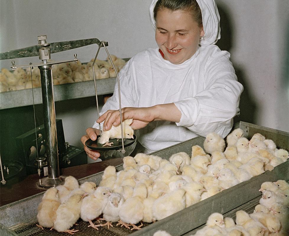 10/12. Инкубатор за пилиће у Јужно-Сахалинску, граду на истоку Русије.