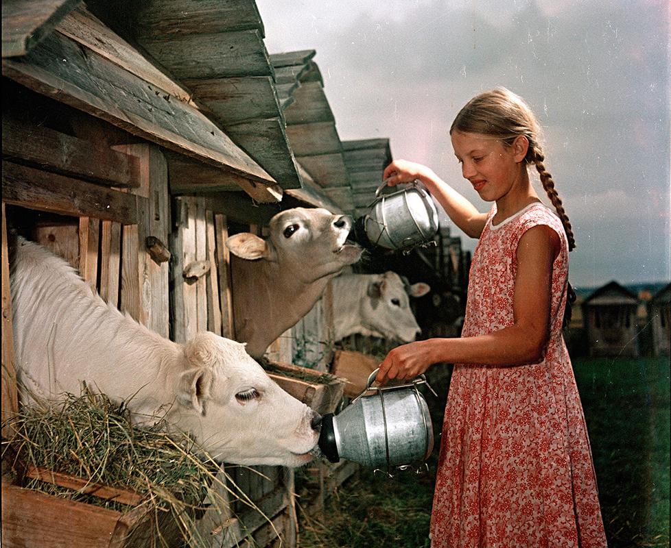"""5/12. Фидљандове фотографије славе совјетски начин живота. Оне приказују раднике и колхознике у СССР-у, рекордне жетве, младе пионире и совјетску уметност. Циљ је био да се покаже како цела земља ради и како рад уноси радост и срећу у совјетско друштво.Село на Волги. Храњење телади у совхозу (државно пољопривредно добро) у Каравајеву""""."""