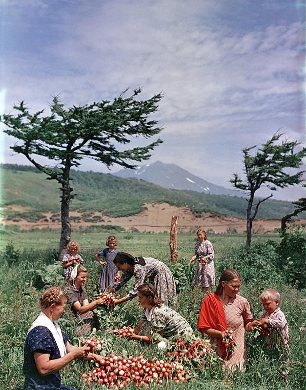 彼の写真コレクションは、ソ連の生活を表した本物の百科事典的写真記録になっている。/ クリル列島のイトゥルップ島(千島列島の択捉島)にある国家農場でのダイコンの収穫