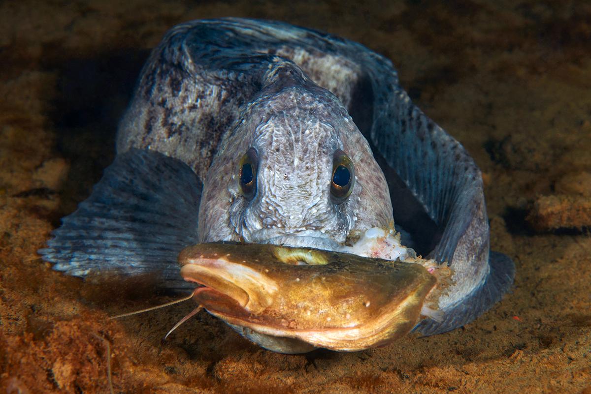 Der Anarhichas lupus oder Gestreifte Seewolf ist ein großer und manchmal gefährlicher Fisch, der in Höhlen unter Steinen lebt. Man entdeckt immer einen, wenn man einige mit zerbrochenen Schalen von Weichtieren bedeckte Quadratmeter ausmacht. Der Seewolf hat einen kräftigen Kiefer, um harte Schalen aufzubrechen, was einer der Gründe dafür ist, sich nicht mit ihm anzulegen - er kann den Finger eines Fischers oder Tauchers brechen. Er kann bis zu 1,5 Meter lang werden, doch der abgebildete ist recht klein und jung.