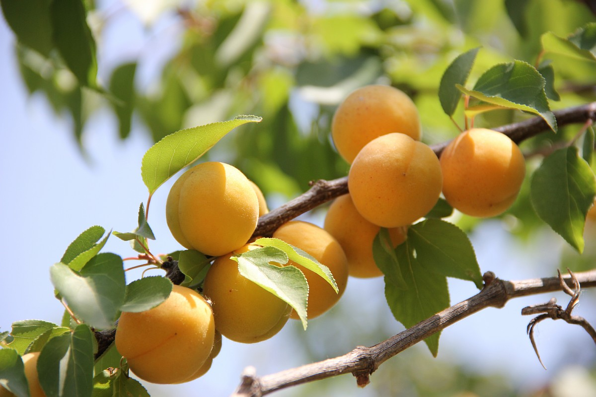 But down at the bottom you can eat delicious apricots.