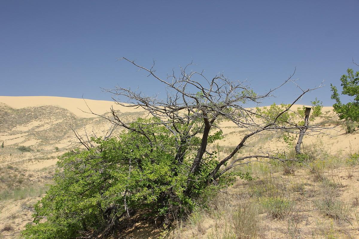 山のふもとではホタルイの他、ヤナギ、ポプラやアカシアなど、水分を好む木々が見受けられる。その理由は次の通りだ。水が液化して下方に浸透し、ふもと付近で多くの泉や小さな湿地を形成するのだ。砂をわずか20〜30センチ程度掘っただけでも、湿った砂の層が見つかる。