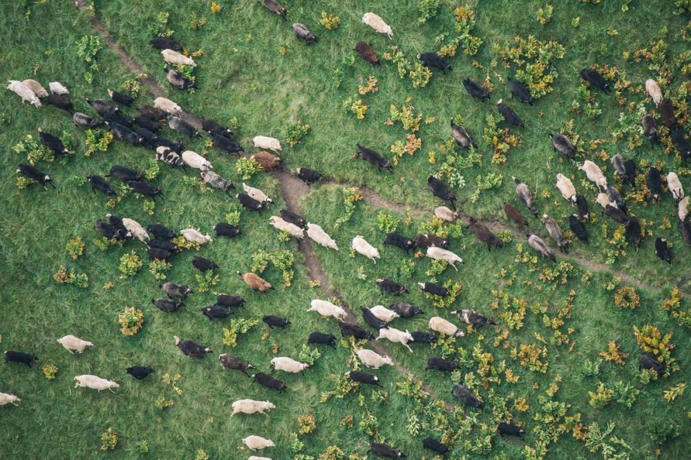 キルトゥーク川の峡谷で生草を食う羊の群れ。