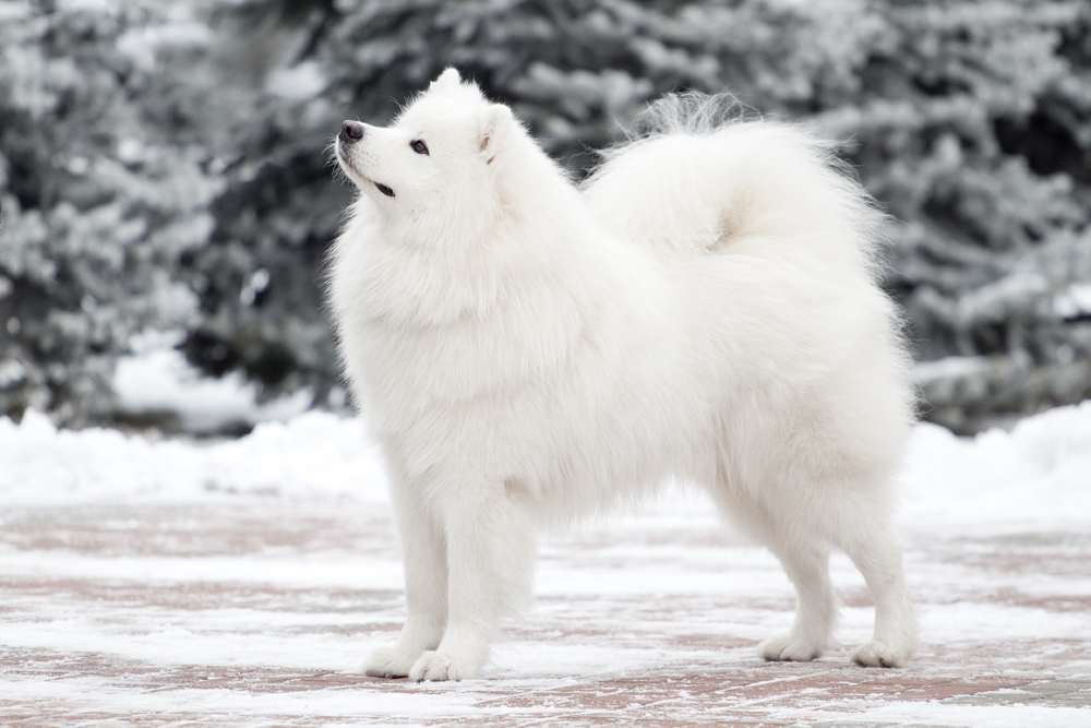 1. The Samoyed is a breed of dog that takes its name from the indigenous Samoyedic people of Siberia. These nomadic reindeer herders bred the fluffy white dogs to help with herding and to pull sleds. An alternate name for the breed, especially in Europe, is Bjelkier.
