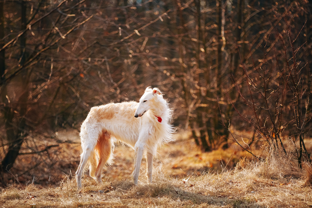 2. The Russian borzoi resembles a wolf with its devotion and habit of holding its head low. The difference between a beagle or any haunting dog and a borzoi is that the latter is much faster, and also usually much faster than its prey; the borzoi catches animals, while the beagle drives and chases them.