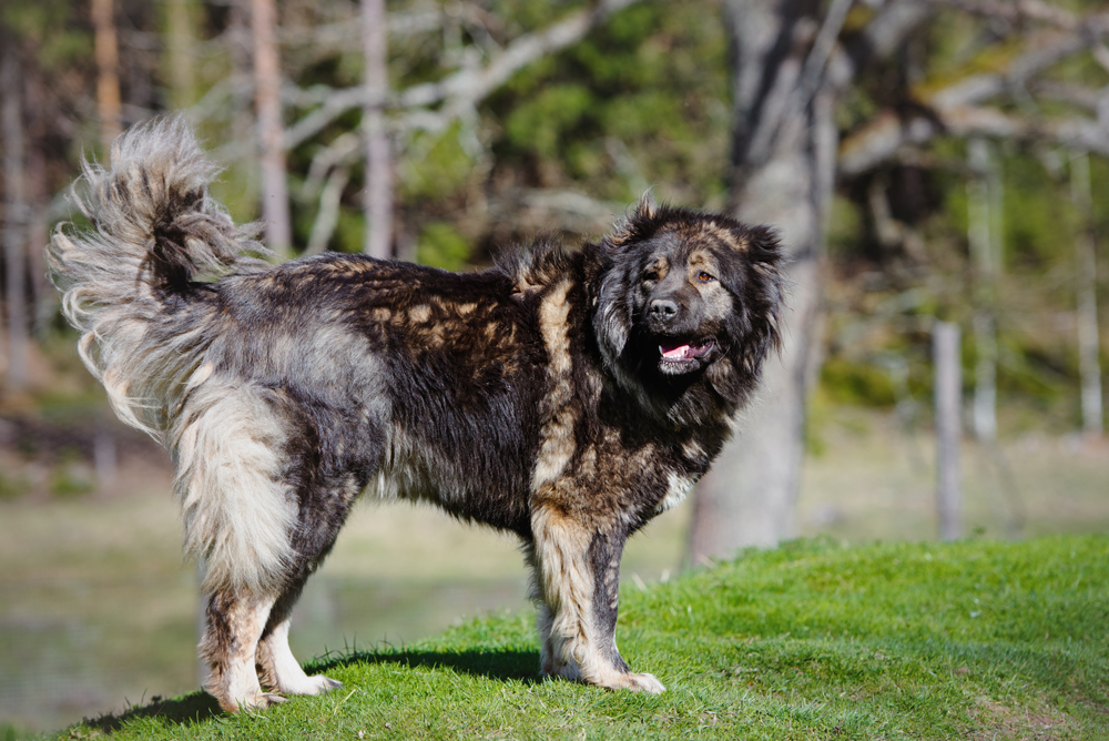 3. The Caucasian Sheepdog (Caucasian Ovcharka) is a powerful dog with a heavy, muscular body and thick coat that protects it against harsh weather and predators that haunt sheep.