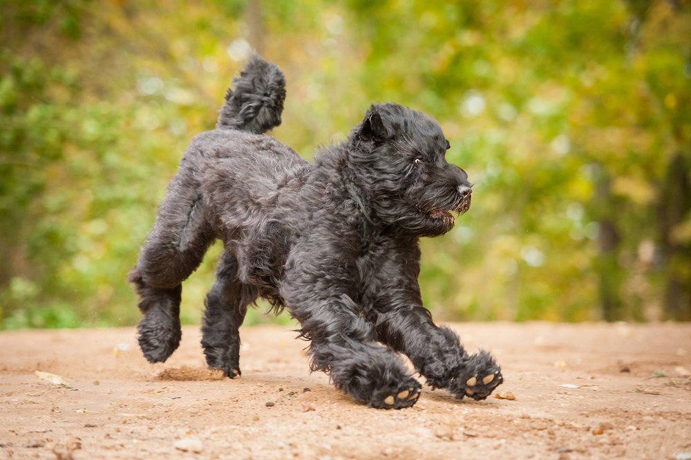 4. The Russian Black Terrier is a breed created at the Krasnaya Zvezda Kennel by order of Stalin. It is a police dog for guarding prisoners, and can work in all climates.
