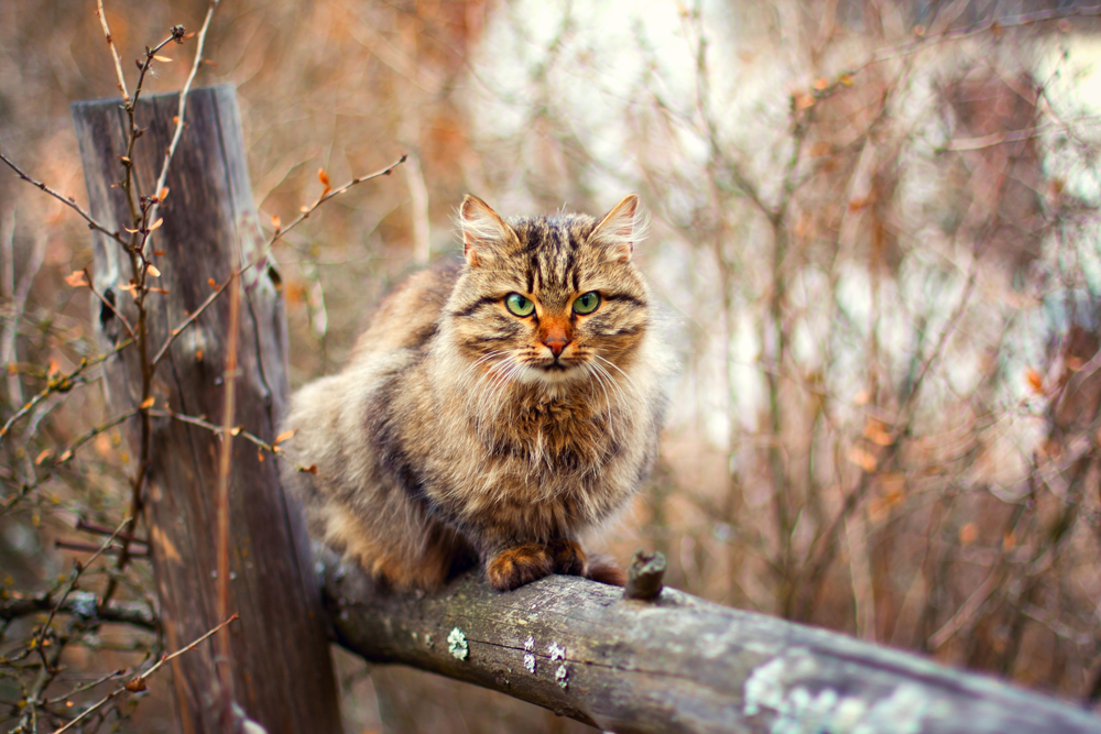 2. The Siberian. This type of cat was first mentioned in 16th century sources. Back then they were called Bukharskie (because probably they were brought to Russia from the big commercial town of Bukhara, Uzbekistan). Today they can be found all over Russia, but the breed appeared in Siberia, so it's now called the Siberian. Due to the local snowy and cold climate, these cats have long thick fur and a bulky undercoat.