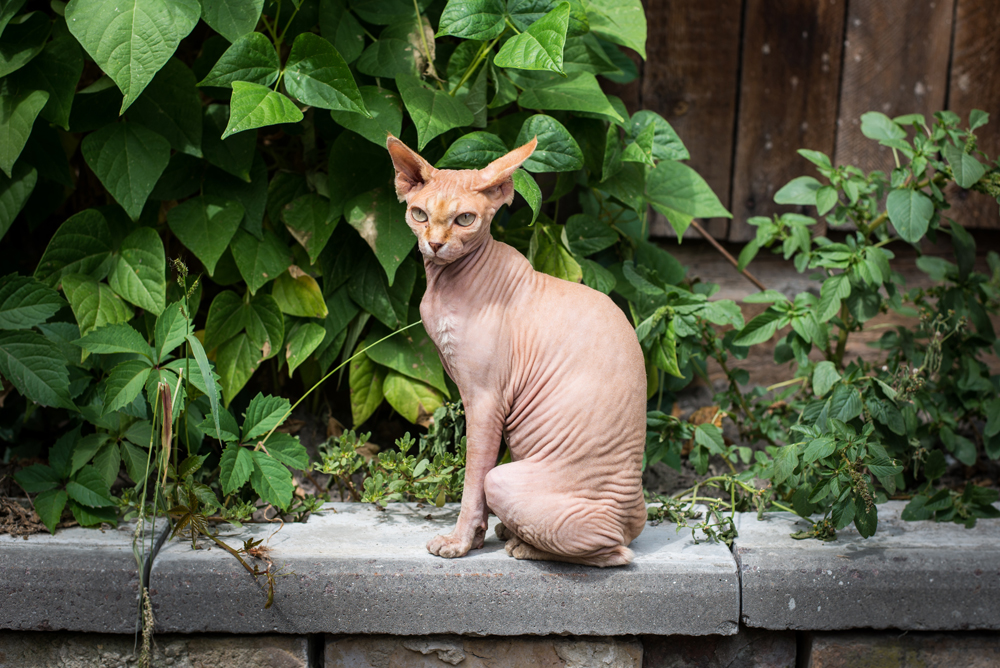 3. The Donskoy cat. The story of the Donskoy cat (similar to the Canadian Sphynx) begins in February 1986 in the city of Rostov-on-Don. Local resident Elena Kovaleva, returning home one day, rescued a kitten, which was being tormented by a gang of boys. Later the cat went bald. The vets found nothing wrong. However, soon after the cat gave birth to kittens, and they were the first to be named Donskoy Sphynx.