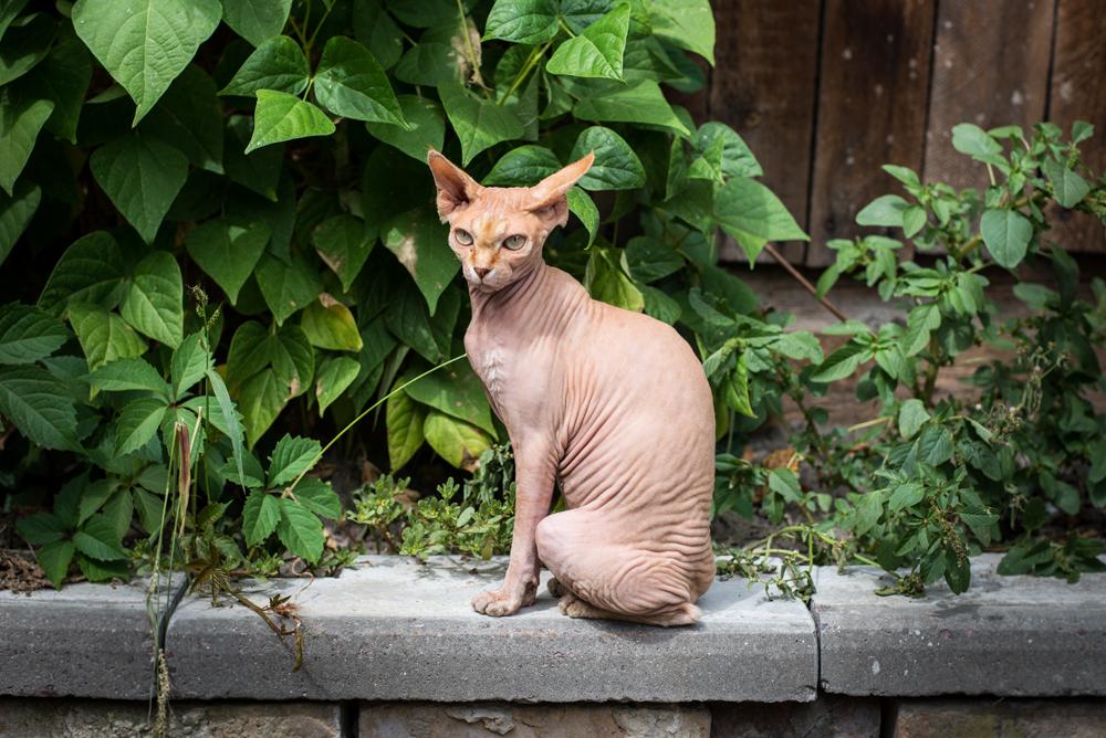 3. ドンスコイ。カナダ産のスフィンクスに類似したドンスコイの歴史は1986年2月、ロストフ・ナ・ドヌ市で始まった。ある日、帰宅した地元住民のエレーナ・コバレワは、少年たちにいじめられていた一匹の猫を救済した。後に、このネコは無毛になった。獣医に診てもらったが、何も問題はなかった。ところが、子猫を産んだ後まもなく、これらの子猫も無毛になり、初めて集合的にドンスコイ・スフィンクスと呼ばれるようになった。