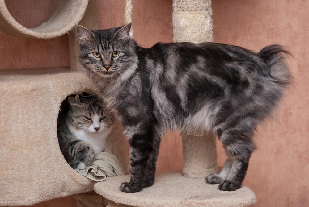4. クリル・アイランド・ボブテイルの起源はジャパニーズ・ボブテイルである。日本では飼い猫になっていたが、再野生化し、野生ネコとしての特性を取り戻すようになった。釣り針に似た鋭いつめを持つボブテイルは木に登ったり、鳥、齧歯類や魚を捕獲し、水を恐れない。