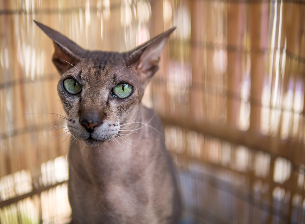 6. The Peterbald (Petersburg Sphynx) has a very characteristic shape of head: long and narrow, with a straight profile, almond-shaped eyes and large ears. The hairless gene was inherited from the Donskoy, its body shape from the Siamese. Its coat varies from bald to so-called