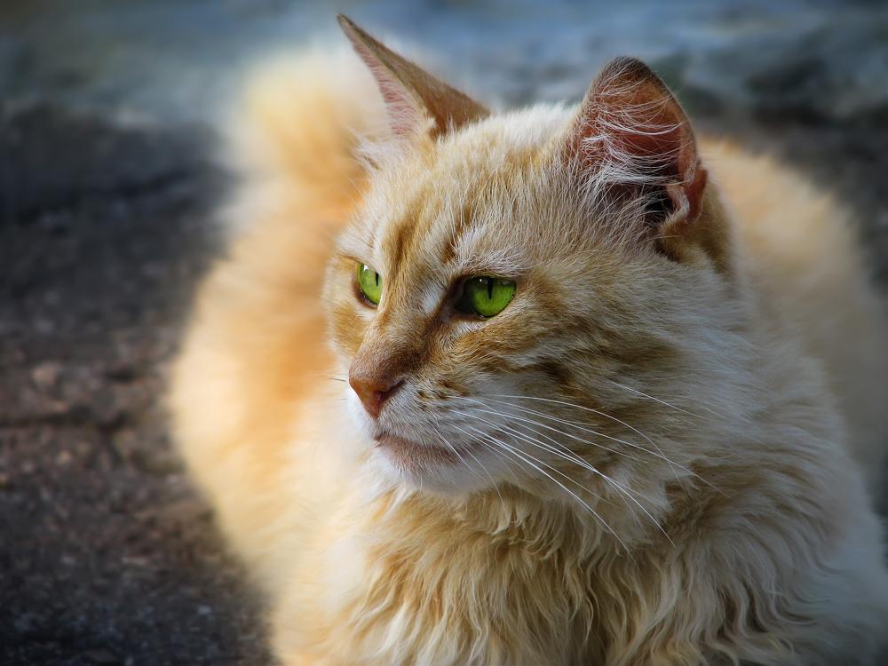 7. Ural Rex — Pada era sebelum perang, kucing yang memiliki bulu keriting ini mendiami wilayah Ural. Setelah Perang Dunia II, populasi mereka menurun, bahkan mereka telah lama dianggap punah.