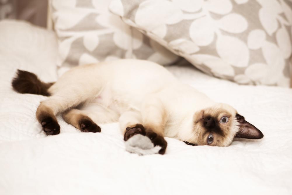 Меконг бобтејл. Првата сијамска мачка, предок на сите подвидови, вклучувајќи го и меконг бобтејлот, стасала во Европа во 1884 година од престолнината на Сијам, денешен Тајланд. Во Америка овие мачки стасале во 1890 година, а во Русија на почетокот на 20 век. Првите мачки припадници на видот меконг бобтејл ги претставила Ољга Миронова од Санкт Петербург, но стручњаците оваа раса ја признале дури во декември 1994 година.