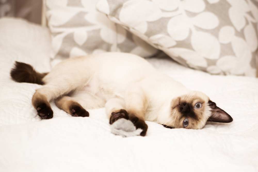 8. Bobtail Mekong — Kucing Siam pertama, atau lebih tepatnya nenek moyang seluruh spesies kucing sejenis berikutnya, termasuk Bobtail Mekong, pada awalnya diimpor ke Eropa pada tahun 1886 dari ibu kota Siam (sekarang Thailand). Bobtail Mekong tiba di Amerika pada tahun 1890, dan di Rusia pada awal abad ke-20. Namun, penetapan Bobtail Mekong sebagai ras standar untuk pertama kalinya diusulkan oleh O. Mironova dari Sankt Peterburg dan kemudian diadopsi oleh para ahli kucing sejak Desember 1994.