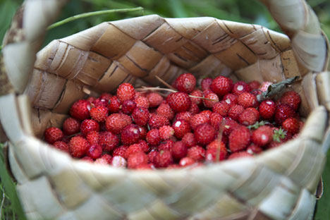 Russian forests offer an abundance of berries in the late-summer.