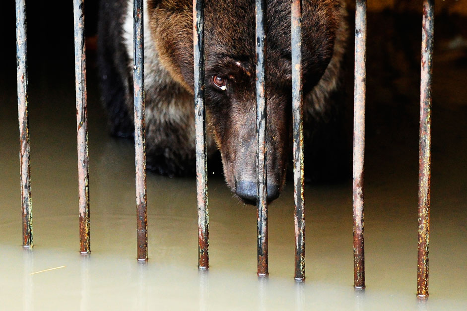 "A bear in a cage in Ussuriysk Zoo on the territory of the city park, ""Green Island,"" flooded due to heavy rains and floods"