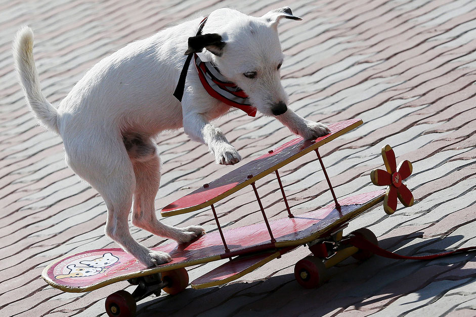 A Parson Russell Terrier performs with a small skateboard decorated like a biplane during a dog show at Siberian Venice Park outside the Siberian town of Sosnovoborsk, Russia