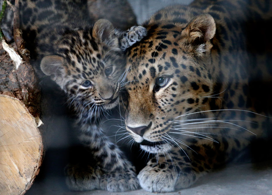 Russia. Rostov-on-Don. 9 September 2015. The female Amur leopard with a cub in a zoo enclosure.