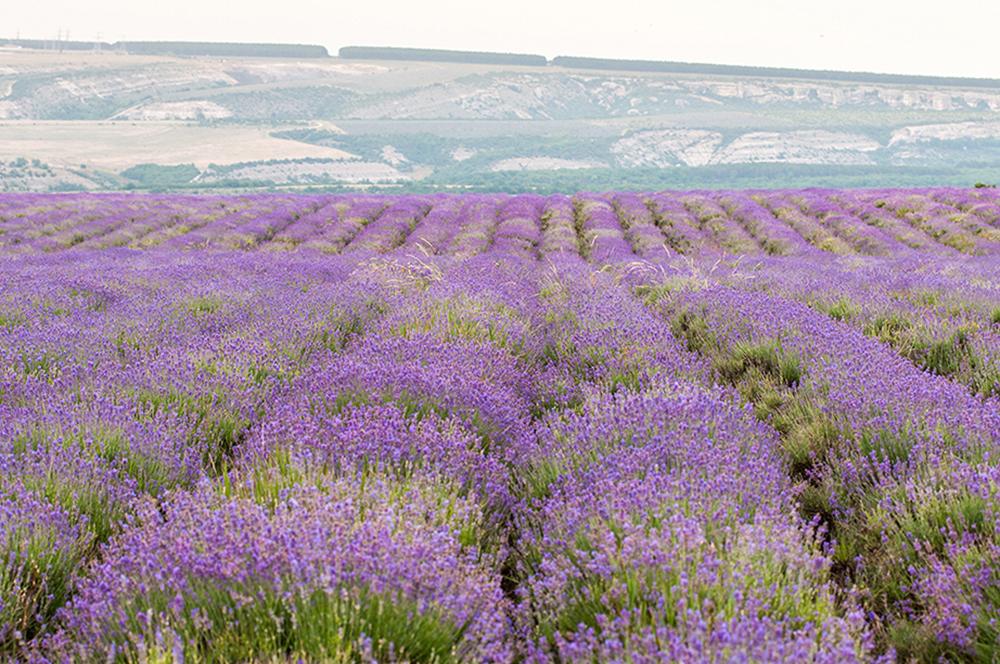 Кога би виделе поле со лаванда како што е ова, би ви се сторило дека треба да зборувате француски, зашто би помислиле дека сте во Прованса.
