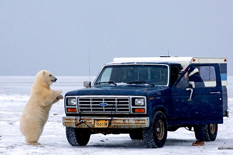 Oso blanco se acerca a automóvil en Vaichag, Siberia oriental.