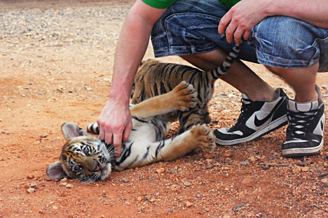 Eyeing the tiger: The dos and don'ts of meeting Russia's big cats