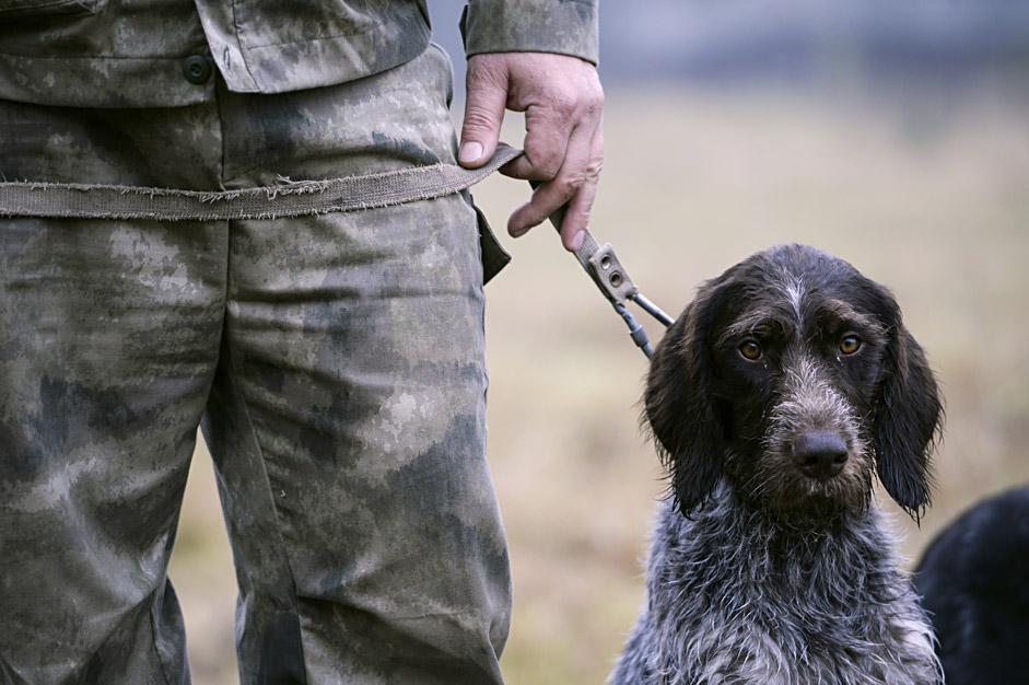 Ein Hund der Rasse Deutsch-Drahthaar bereitet sich auf seinen Einsatz bei einem Wettkampf für Hühnerhunde im Gebiet Swerdlowsk vor.