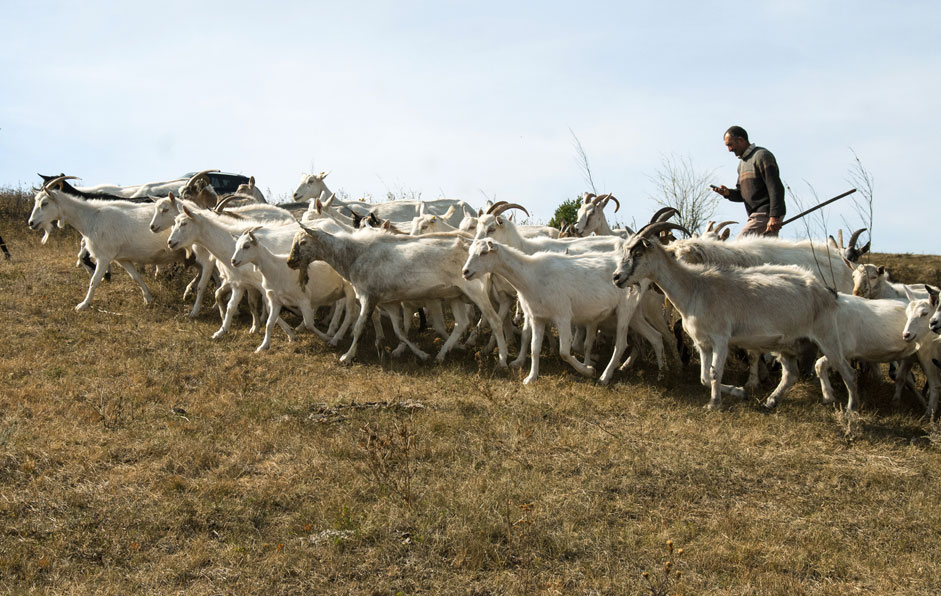 "A herd of goats of Zaanen breed dairy farm ""Alpha"" in the village Smorodino Belgorod region."
